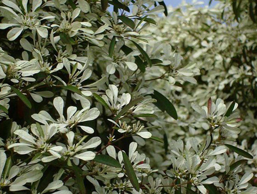 Neve-da-montanha (Euphorbia leucocephala)