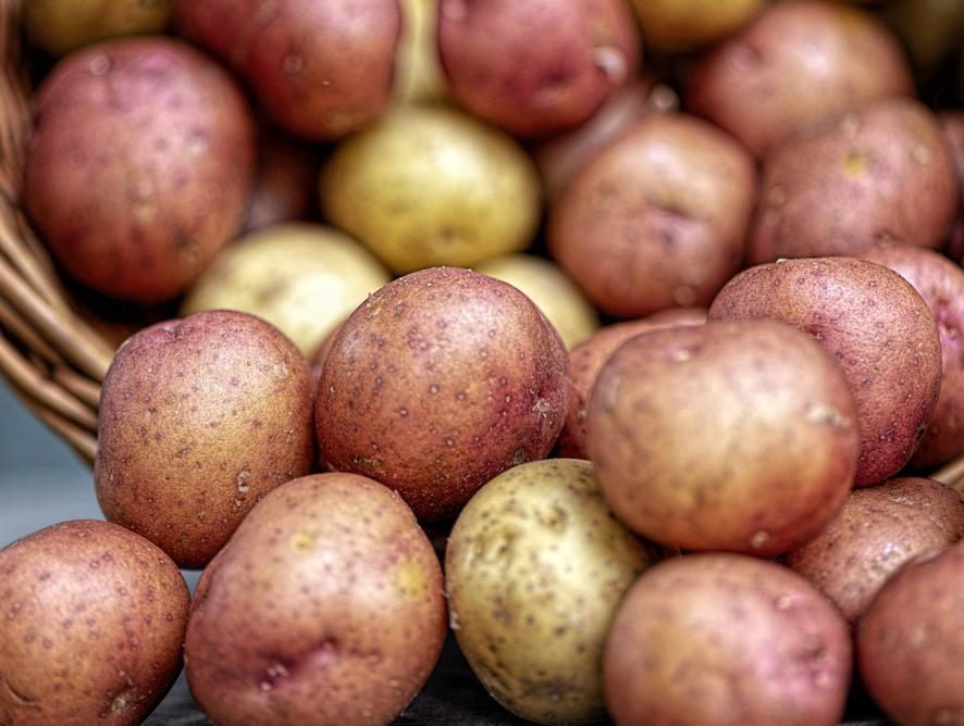 Como plantar batata em vasos
