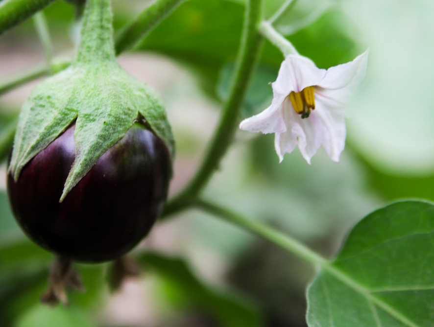 O que pode ser cultivado o ano inteiro?