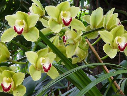 Cymbidium: mais uma orquídea para você se apaixonar