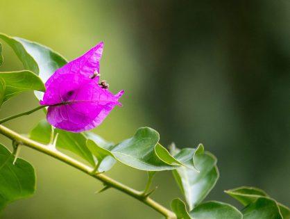 Bougainvillea: flores o ano inteiro