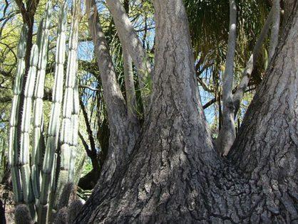 Pata-de-elefante: saiba mais sobre esse arbusto!