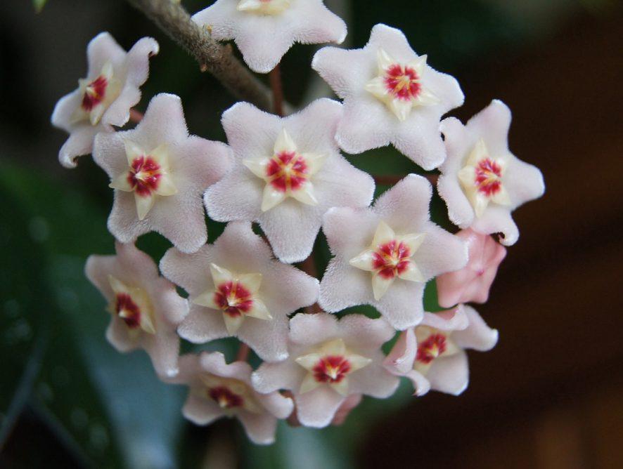 Hoya Carnosa, uma flor de beleza tão singular que nem parece de verdade!