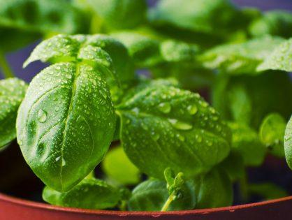 Dicas para cultivar manjericão