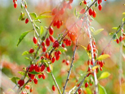 Tenha goji berry no jardim