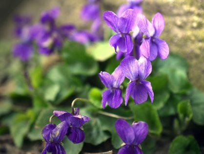 Violetas: dicas e cuidados