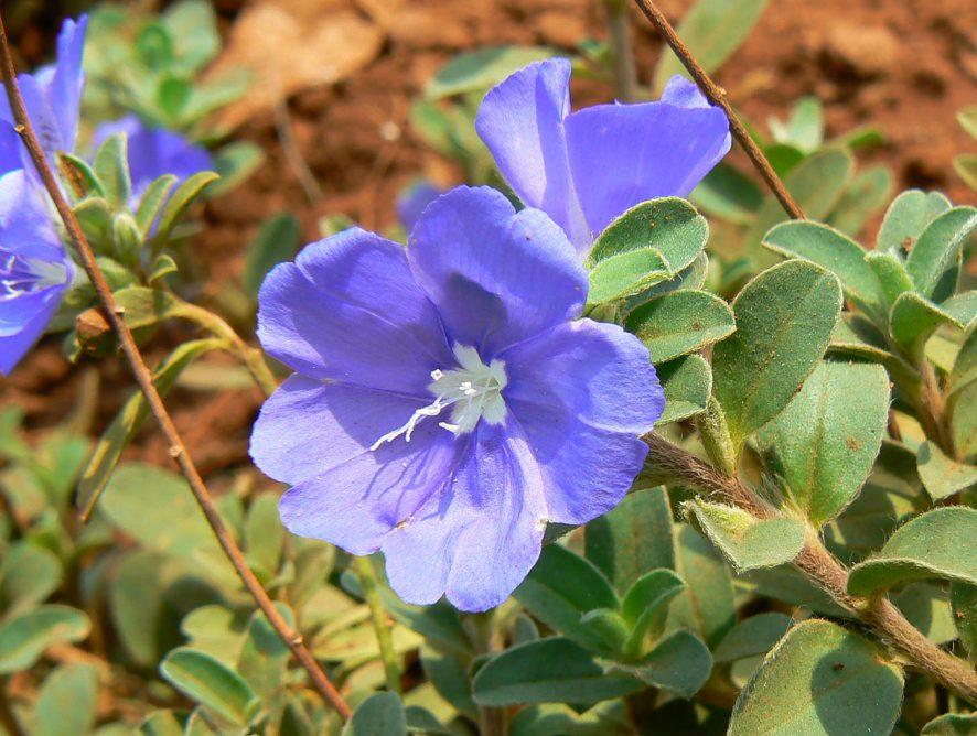 Aprenda a cultivar a azulzinha