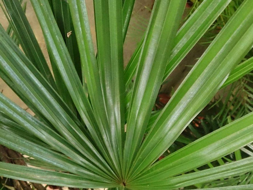 Cuidados com a palmeira-ráfia