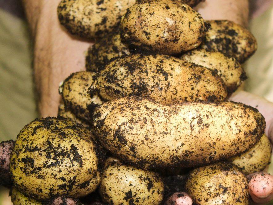 Como plantar batatas em vasos? Aprenda!