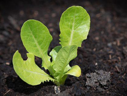 3 vegetais que voltam a crescer
