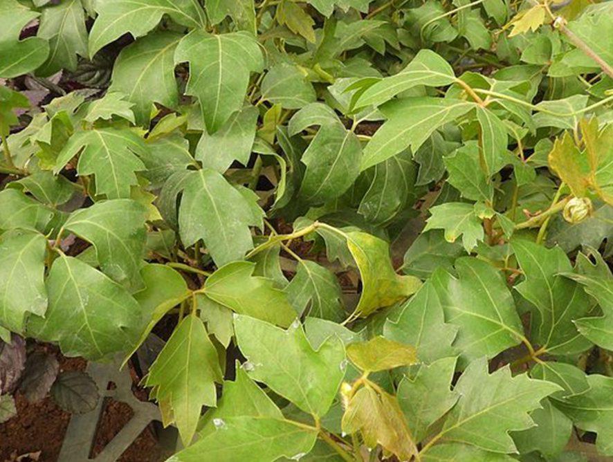 Confira detalhes sobre o cipó-uva e como plantá-lo
