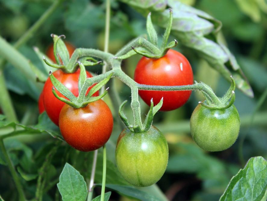 6 dicas para plantar tomatinhos em casa