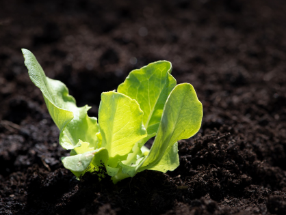 Vegetais que podem ser colhidos em menos de 2 meses
