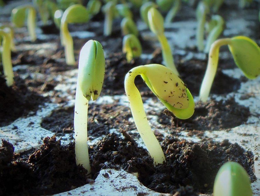 Veja como plantar feijão e tenha alimentação mais saudável