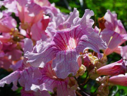 Conheça mais sobre a planta sete-léguas