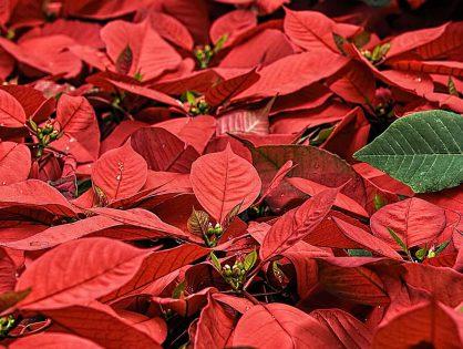 Dicas para decorar sua noite de Natal com espécies da temporada