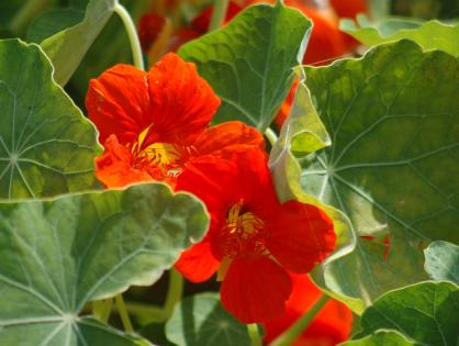 Três espécies de flores que podem ser consumidas
