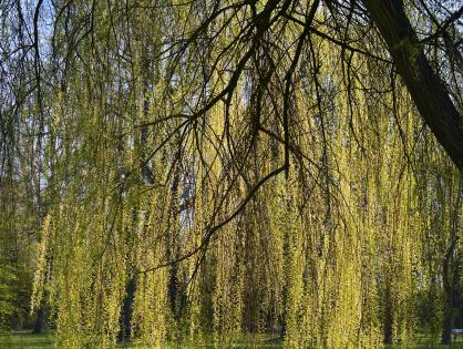 5 árvores de raízes agressivas