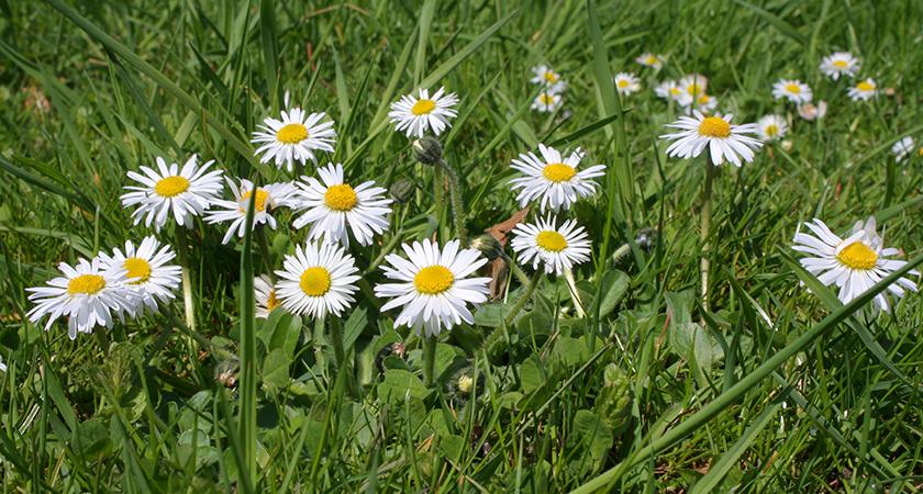Margarida: como cuidar e cultivar essa linda flor