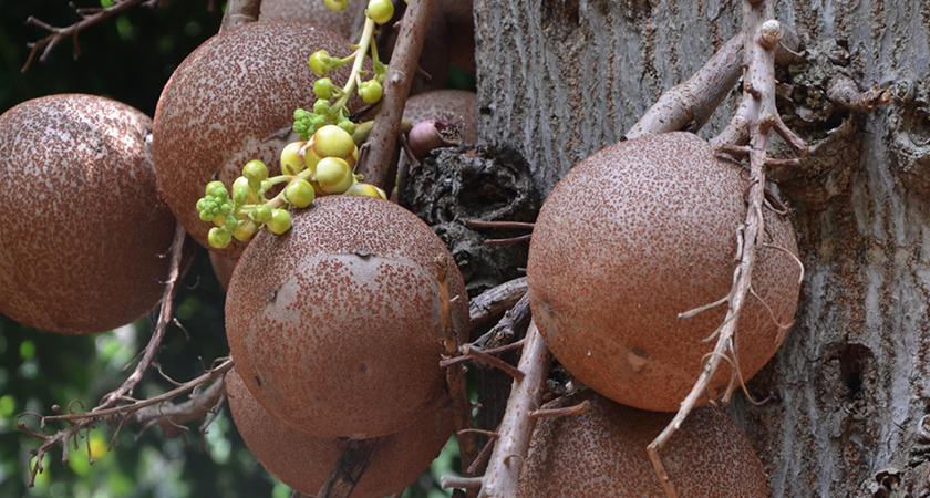 Conheça 3 plantas em extinção na Amazônia