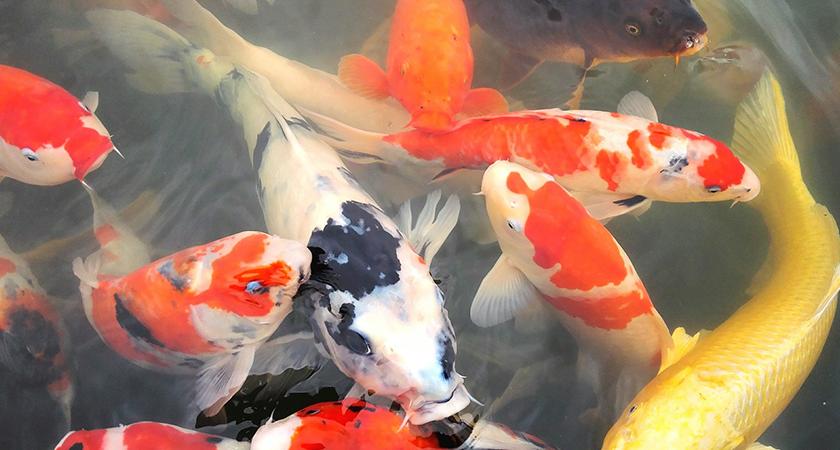 Peixes em lagos ornamentais: tire suas dúvidas