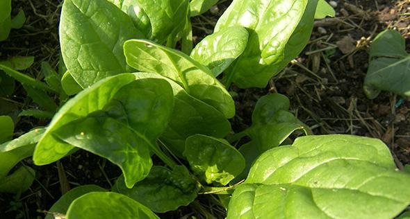 Baby leaf: sabor e qualidade que cabem na sua horta