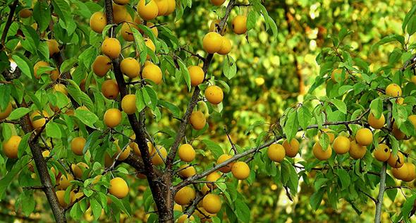 Sabores renovados: veja como adubar a sua árvore frutífera
