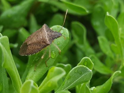 Fedidos e perigosos: elimine os percevejos do seu jardim