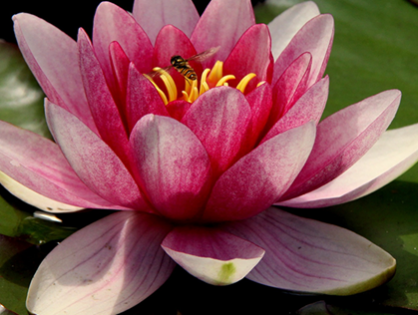 Nelumbo nucifera: conheça mais sobre a flor de lótus
