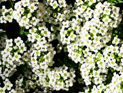Flor-de-mel: descubra os encantos da Lobularia Maritima