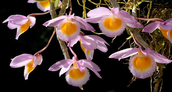 Dendrobium loddigesii, a orquídea que encanta a quem vê