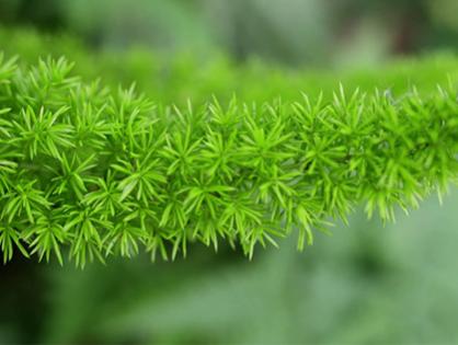 Aspargo-pluma, leveza e beleza para o jardim
