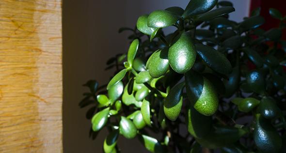 Crassula ovata: aprenda a cultivar a fofíssima planta de jade