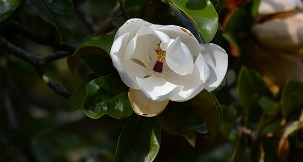 Magnolia grandiflora: saiba mais sobre a exuberante magnólia-branca