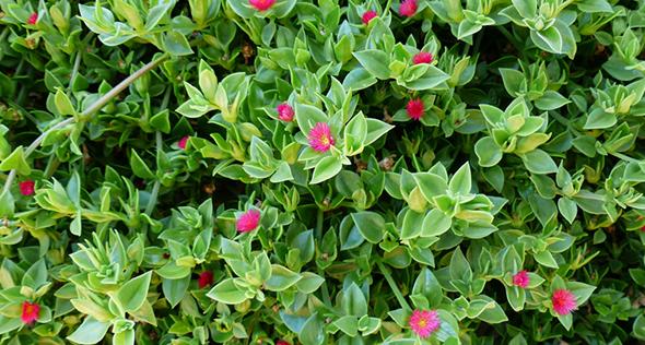 Suculentas que florescem: conheça 6 espécies