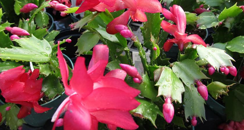 Flor-de-maio: o que é e como cultivar