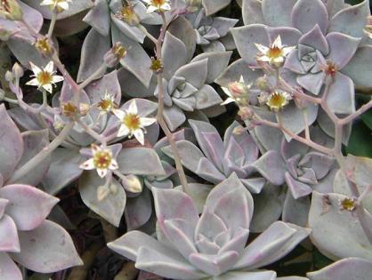 Planta fantasma: tudo que você precisa saber para cultivá-la em seu jardim
