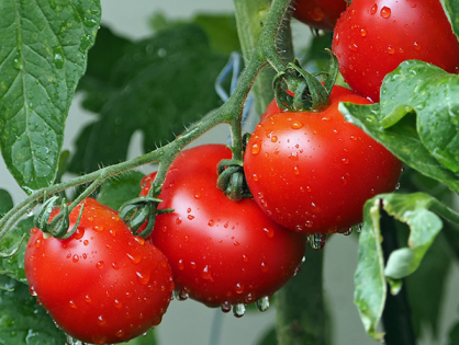 Tipos de tomates que podem ser plantados no jardim