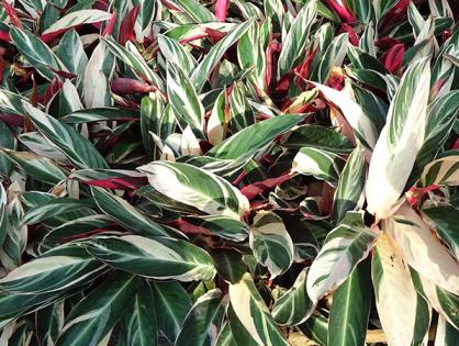 Conheça a maranta-variegada