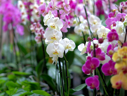Manchas nas folhas das orquídeas: como tratar