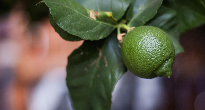 Como cultivar um limoeiro