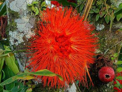 Rosa-da-Venezuela: ótima escolha para jardins