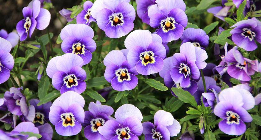 Como cuidar de violetas?