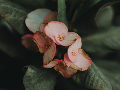 Coroa-de-cristo: cuidados e cultivo