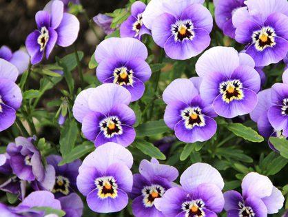 Saiba mais sobre as flores comestíveis