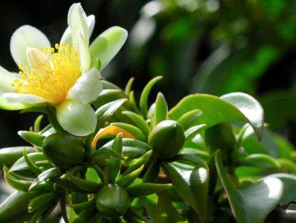 Ora-pro-nóbis: aprenda como cultivar