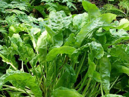 Azedinha: hortaliça não convencional cheia de sabor
