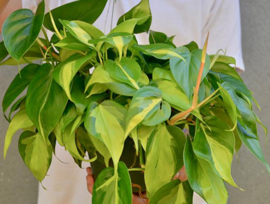 Filodendro-brasil e seu modo de cultivo