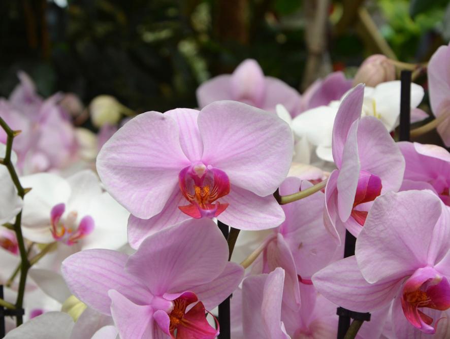 Ganhei uma orquídea de presente. Como cuidar?