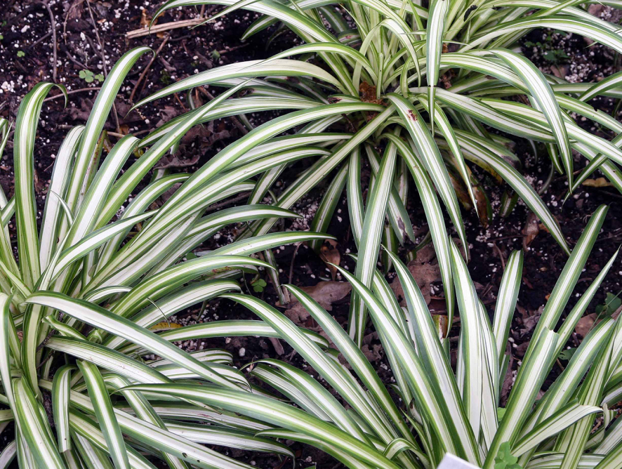 Saiba mais sobre o Chlorophytum comosum